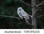 Owl In Dark Forest  Sweden....