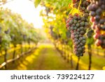 grape harvest | Shutterstock . vector #739224127