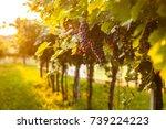 grape harvest | Shutterstock . vector #739224223