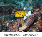 Small photo of Juvenile yellow boxfish ostracion cubicus