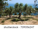 olive trees hill in greece ... | Shutterstock . vector #739356247