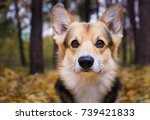 dog breed welsh corgi pembroke... | Shutterstock . vector #739421833