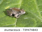 Small photo of Blanchard's Northern Cricket Frog (Acris crepitans blanchardi) on a leaf, Ames, Iowa, USA
