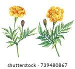 Set Yellow Flowers Tagetes...