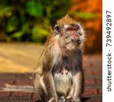 female monkey showing her... | Shutterstock . vector #739492897
