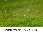 wild flower in the wild. grass... | Shutterstock . vector #739511887