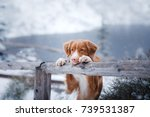 Red Haired Dog In Nature In...