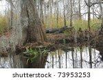 American Alligator  Alligator...