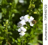 Small photo of Honey bee gathering pollen from dainty small two lipped blooms of perennial nemesia flowering in winter add charming soft pink, white and mauve color to a drab garden landscape.