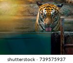 Big Beautiful Tiger Drinking...