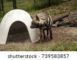 striped hyena called hyaena... | Shutterstock . vector #739583857