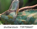 veiled chameleon  | Shutterstock . vector #739708687