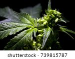 fresh agricultural male hemp... | Shutterstock . vector #739815787