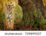 big cat  endangered animal... | Shutterstock . vector #739899337