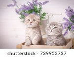 Stock photo interesting scottish kittens research of new territories thoroughbred cats couple fold cats 739952737