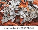 jacobaea maritima  silver... | Shutterstock . vector #739968847