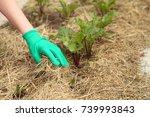 Beetroot Grows In The Garden...