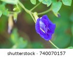 butterfly pea or clitoria... | Shutterstock . vector #740070157