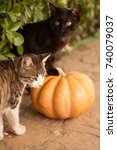 Stock photo funny cute kittens are playing with a pumpkin halloween party black kitten and a tricolor cat 740079037