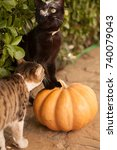 Stock photo funny cute kittens are playing with a pumpkin halloween party black kitten and a tricolor cat 740079043