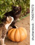 Stock photo funny cute kittens are playing with a pumpkin halloween party black kitten and a tricolor cat 740079073