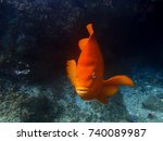 Bright Orange Garibaldi...