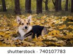 dog breed welsh corgi pembroke... | Shutterstock . vector #740107783