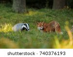 european badger with red fox   | Shutterstock . vector #740376193