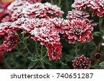 Flowers. Chrysanthemums In The...