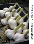 Small photo of Garlic heads or bulbs, allium sativum, harvested and drying in sunshine ready for storage and use.
