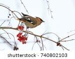 beautiful bird eats red berries ... | Shutterstock . vector #740802103