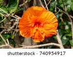 closeup of an orange chinese... | Shutterstock . vector #740954917