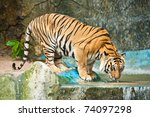 Tiger Drinking Water