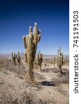 Small photo of Group of cacti, Los Cardones National Park, Salta,Argentina