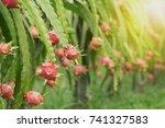 dragon fruit on plant  raw... | Shutterstock . vector #741327583