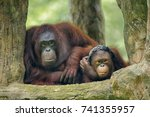 Small photo of Orangutan species of extant great apes. Native to Indonesia and Malaysia, orangutans are currently found in only the rainforests of Borneo and Sumatra. Classified in the genus Pongo