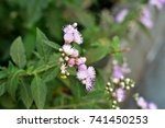 Small photo of Ageratum conyzoides with lilac flower in the city garden