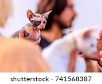 sphynx cat look suspicious... | Shutterstock . vector #741568387