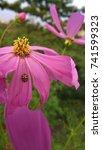 Small photo of Ladybug on Wedelia