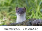 Curious Weasel Looks Out From...