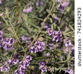Small photo of Dainty mauve blooms of Guichenotia macrantha, large-flowered guichenotia, a shrub in the family Malvaceae endemic to Western Australia flowering in late winter add color to the drab bush lands.
