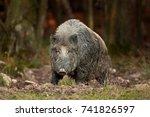 wild boar  sus scrofa  czech... | Shutterstock . vector #741826597