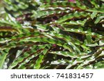 green and violet leaves of... | Shutterstock . vector #741831457