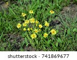 Small photo of Beautiful yellow Aspilia with flower on the grass