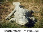 a large crocodile lies on the... | Shutterstock . vector #741903853