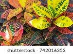 Croton  Codiaeum Variegatum ...