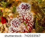 Small photo of alcyonium red