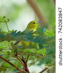 Small photo of Common iora (Aegithina tiphia), little yellow bird perched on a tree branch with green lush foliage of tropical jungle.