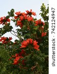 Small photo of African Tulip Tree (Spathodea campanulata) with red flowers in tropical garden of Tenerife,Canary Islands,Spain.Selective focus.