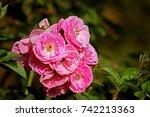 rose in the garden | Shutterstock . vector #742213363